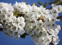Baumblüte im Obstland